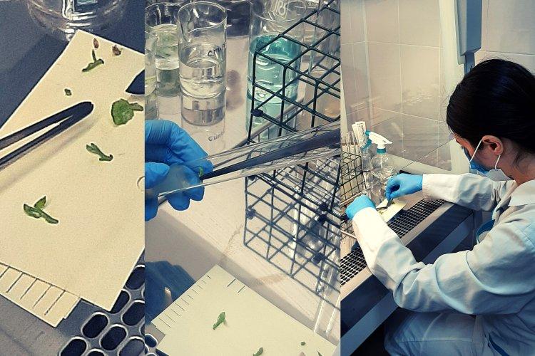 Работа в стерильных условиях ламинар-бокса. На фото справа - младший научный сотрудник К.Р. Бикметова.