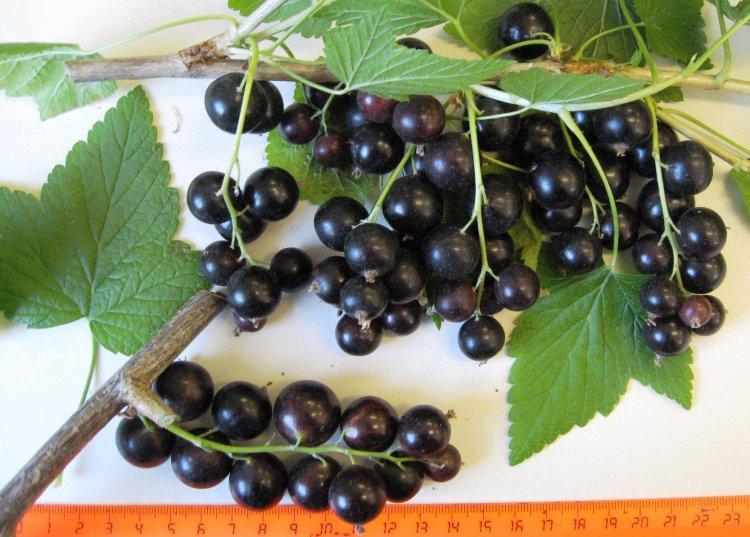 Сорт черной смородины Добрый Джинн. Крупноплодный сорт с ранним сроком созревания и десертным вкусом ягод.
