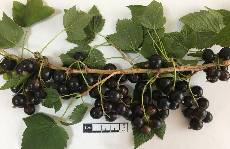 Сорт черной смородины Кушнаревская. Башкирский крупноплодный сорт. Линейка дана для понимания размера ягод.