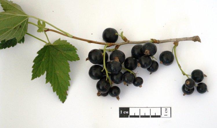 Сорт черной смородины Сибилла. Крупноплодный, вкусный, урожайный сорт челябинской селекции.