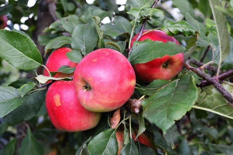 Сорт яблони Благая весть.